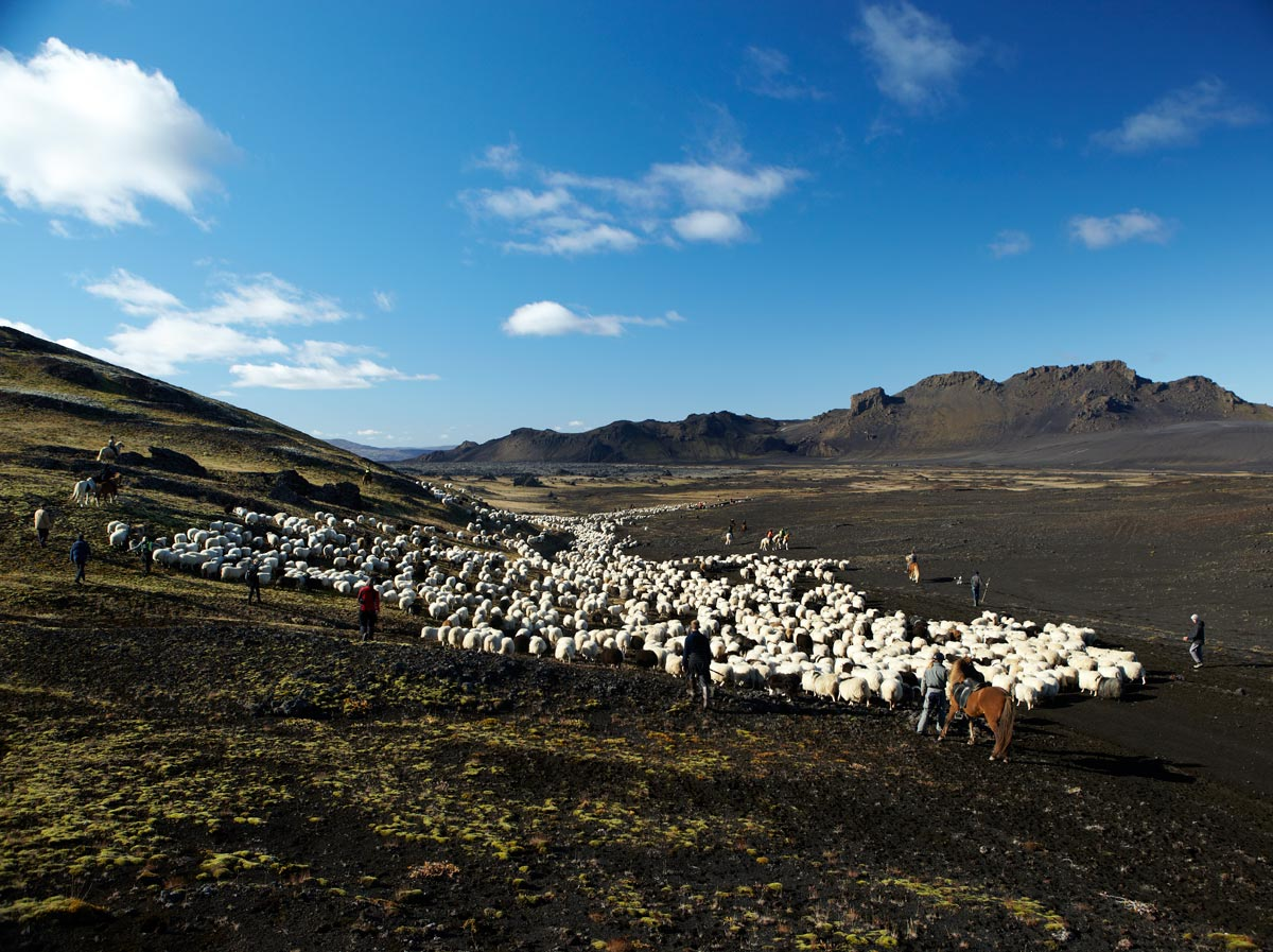 Horse back sheep roundup, Iceland