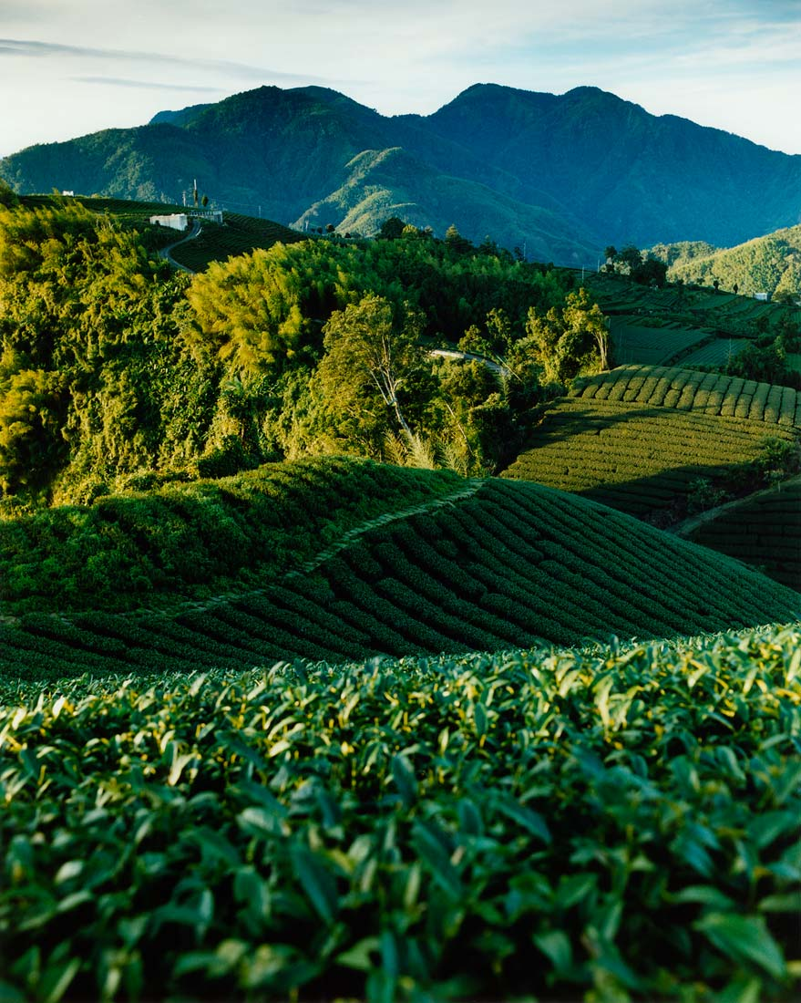 Tea plantations, Alishan, Taiwan