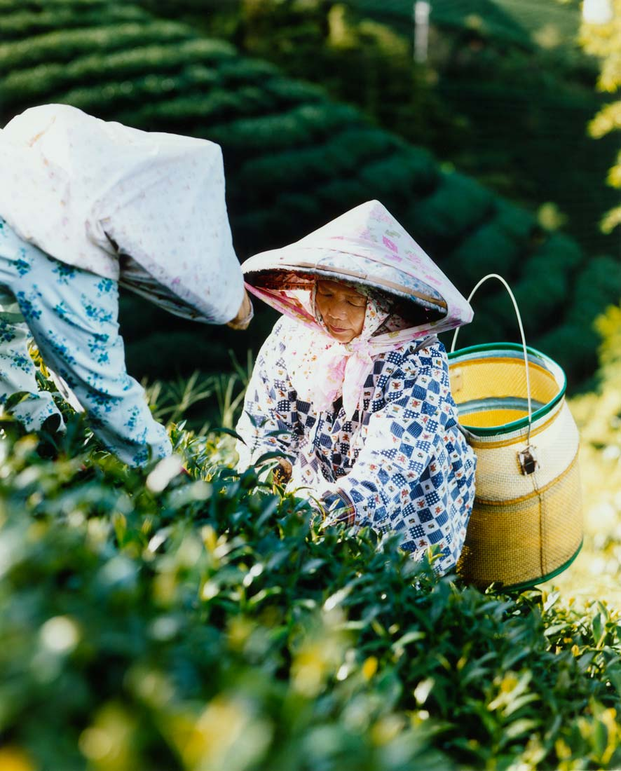 Ladies picking tea, Alishan, Taiwan